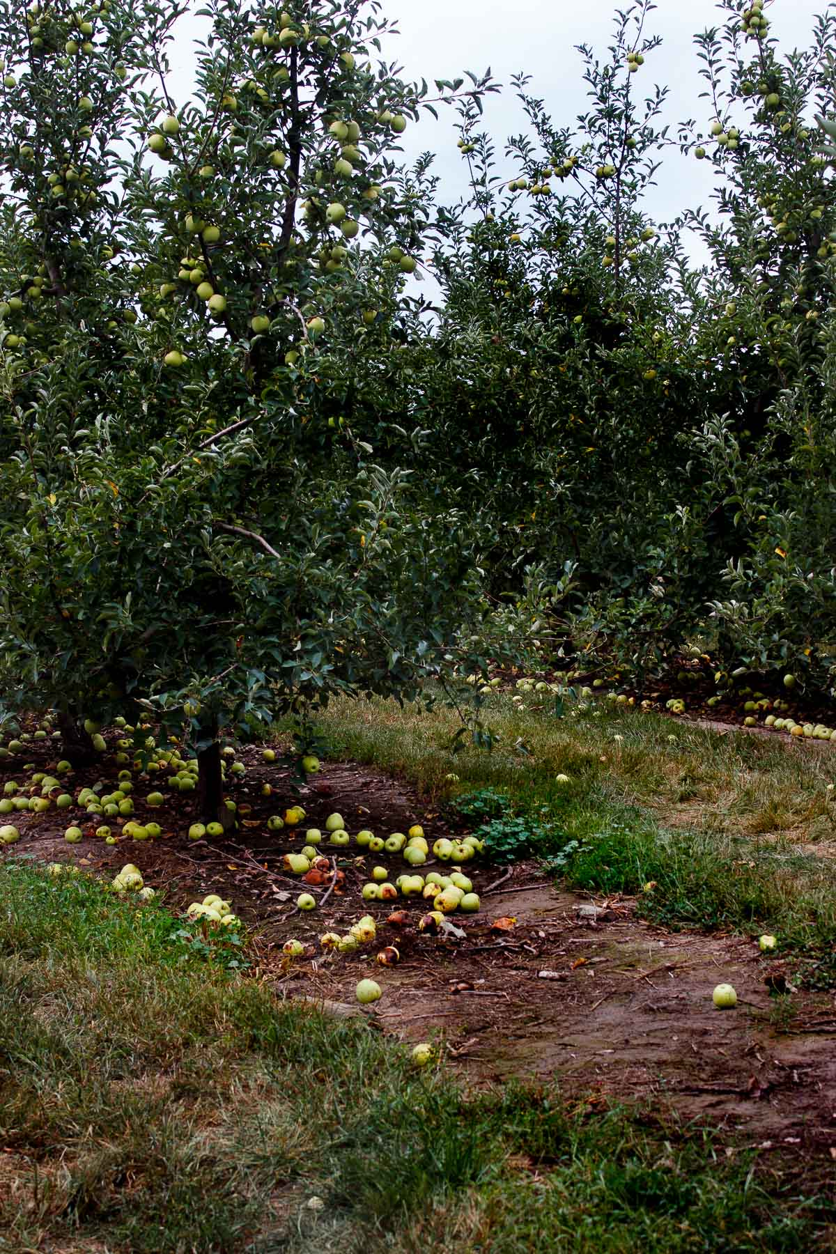 apple orchards in the fall